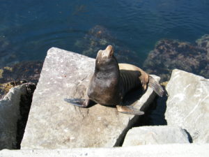 Monterey Bay is full of Sea Lions