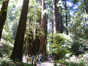 The Giant Red Woods in Muir Woods just north of San are humbling