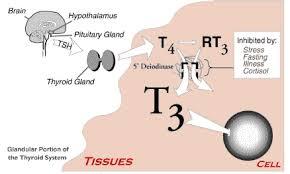 thyroid function schematic